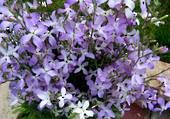 Stock Night Scented - Sow Late Spring & Early Summer - HA 30cm