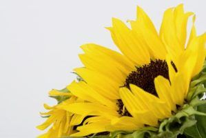 How to Make Your Own Sunflower Oil