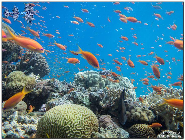 Подводная фотография - Дайвинг в Израиле - Красное море - Эйлат (6)