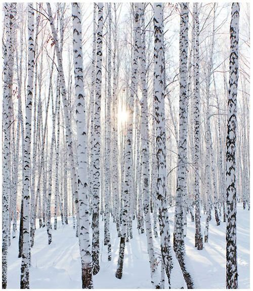 birch trees in the snow: Snowy Trees, Snow Trees, Trees In Winter,