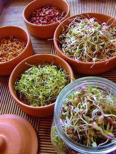Se pueden germinar semillas de Alfalfa, soya, lentejas, quinoa, judías, rábanos, berros, cebolla, trigo, avena, centeno, garbanzo . Nunca germinar semillas de zanahoria, berenjenas, papas, pimiento, tomate, porque pueden ser tóxicas.