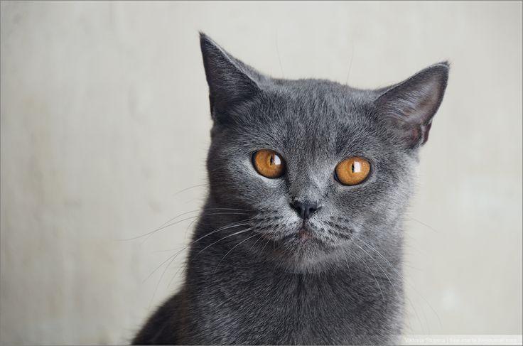 Картинки по запросу серые кошки