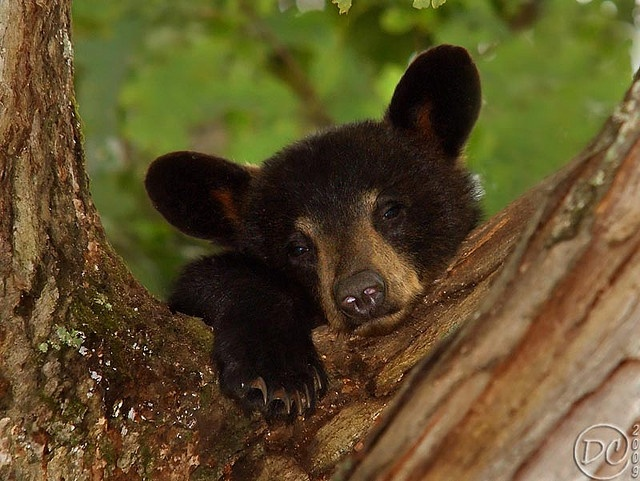 Sleepy Cub15 Wildlife, Animal Iii, Black Bears, Bears Cubs, Sleepy Cubs Sweets, Sleepy Bears, Animal Friends, Animal Rules, Bear Cubs