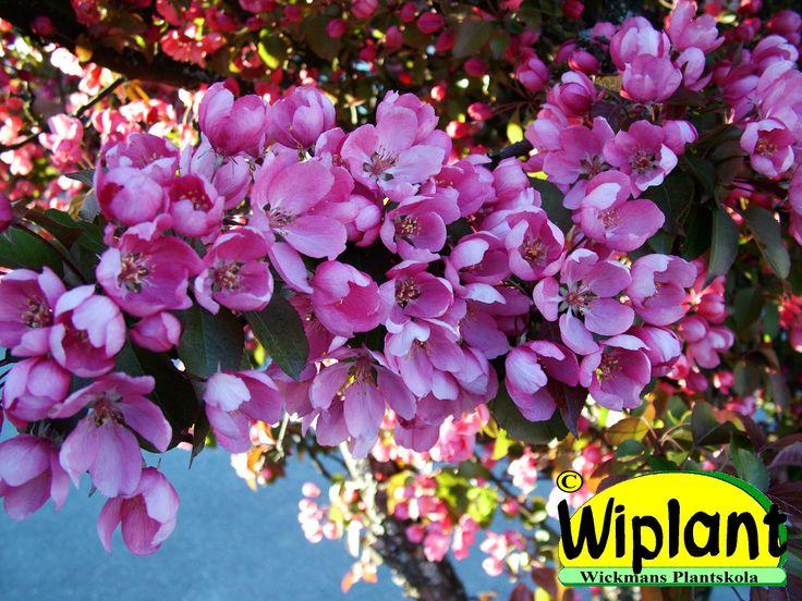 Malus 'Makamik', prydnadsäppel. Rosa blommor, rödgröna blad. Graciösa grenar. Höjd: 3-4 m.
