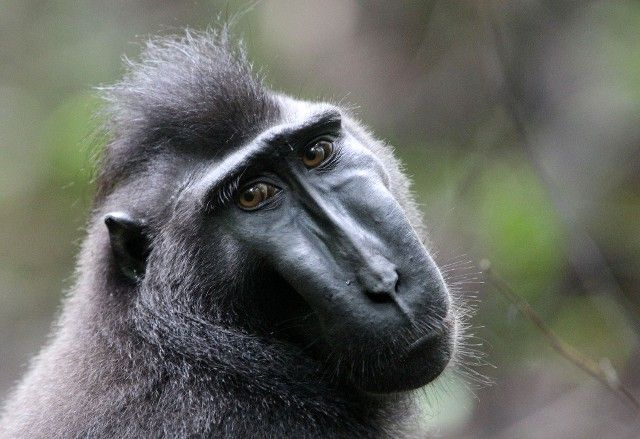 Sulawesi Crested Macaque male