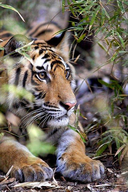 Tiger in Kanha  ~~ Kevin Osborne