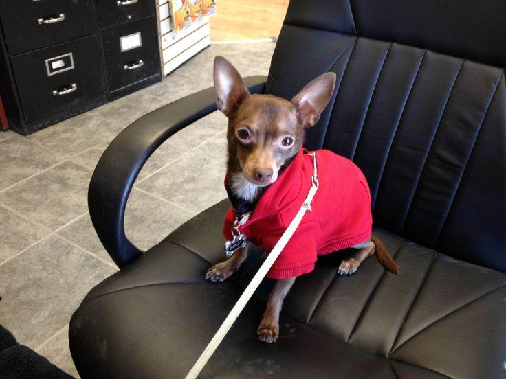 Customer Service Representative: Barley - Reindeer Chihuahua