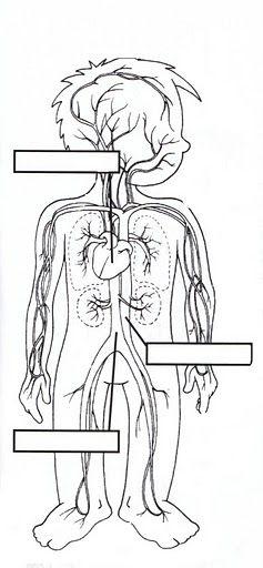 learningenglish-esl: RESPIRATORY, DIGESTIVE & CIRCULATORY BODY SYSTEMS