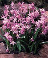 Snepryd. Chionodoxa forbesii Pink Giant. Snepryd. Denne plante er en nær slægting til skilla. Meget hårdfør plante og klarer sig godt i halvskygge eller solrigt voksested. Blomsterne er stjerneformede i korte klaser. Pink Giant er frodig med lyserøde blomster. 10-12 cm.