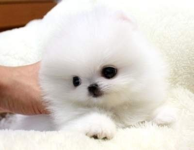 Seal eyes and nose + Fluffy Pomeranian = Extremely dangerous cuteness puppy of POWAH!  Pinned by Angel