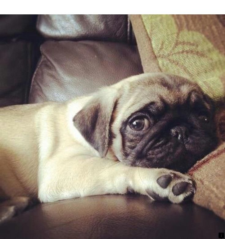 Pin On Awesome Pug Puppies