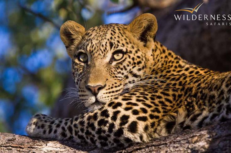 Tubu Tree Camp - Hunda Ilsand produces incredible leopard sightings. #Safari #Africa #Botswana #WildernessSafaris