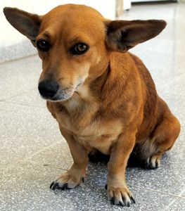 The Coronary Care Ward at Havana's Calixto Garcia Hospital is not exactly a merry place, but it would be far more depressing if it wasn't for La Niña. La Niña is a cute little dog that squats on the ground floor of the hospital.