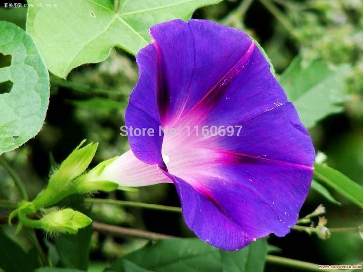 Глубокий фиолетовый 200 шт. петуния Seedssemillas семена цветов sementes-де-флорес для casa a жардин сад бонсай украшения дома подарок