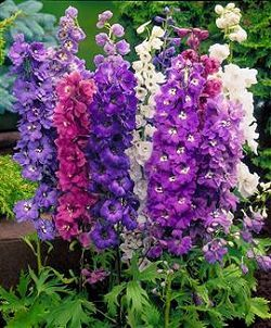 "Delphinium  Zone: 3 - 8  Blooms: June & Sept  Height: 18"" - 24""  Light:  Full sun  Soil: rich / well drained  Spacing: 12"" - 14"""