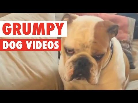Funny Grumpy Dog Pet Video Compilation 2016 : Video Clips From The Coolest One