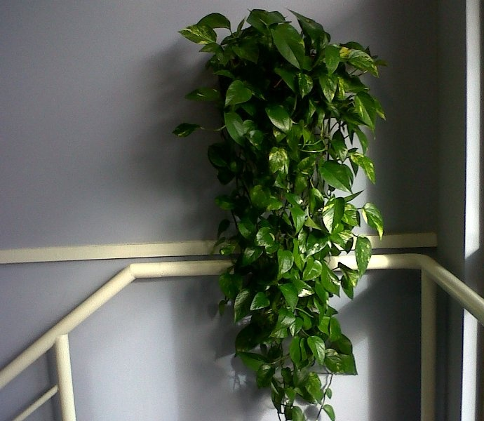 Living Walls for offices are very in vogue' these days but they're incredibly expensive and difficult to maintain and keep looking good.  So here's a great, but inexpensive alternative for offices where space is at a premium. Our Nature at Work trailing scindapsus in a half-moon shaped planter on the wall costs looks stunning and only costs £2 a week!
