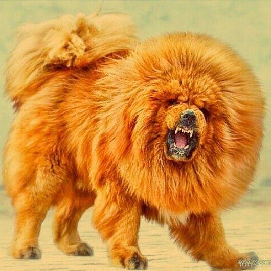 チベットのライオンことチベタン・マスティフ!触ってみたい。首筋を撫でてみたい…(+_+)