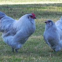 1000 images about we love chickens on pinterest - Craigslist florence sc farm and garden ...