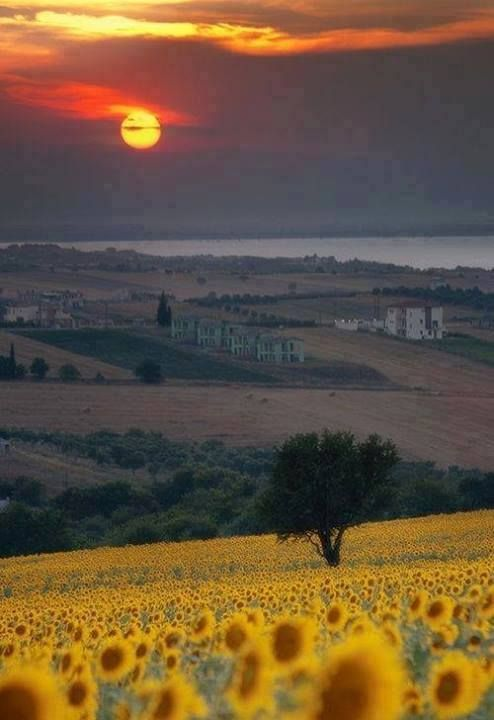 Sunflowers in Tuscany, Italy
