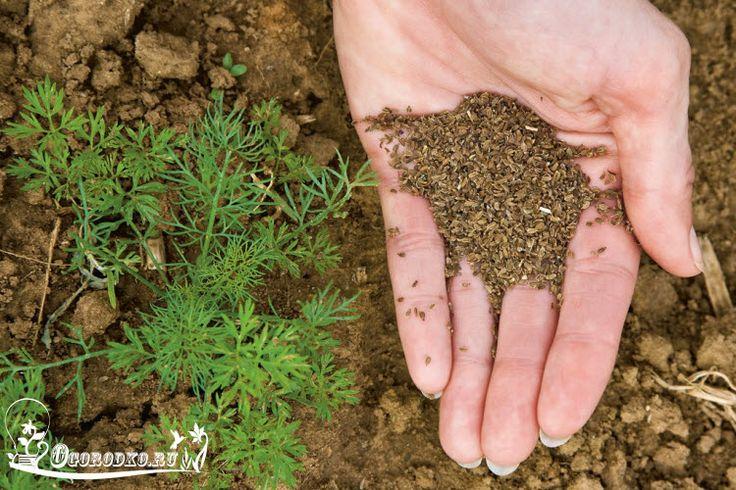 Как посадить морковь весной, как быстро прорастить и подготовить семена, когда садить и как правильно, как подготовить грядку....