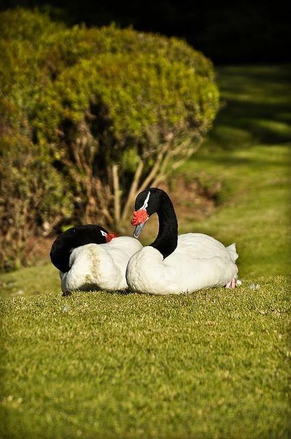 Cisnes de cuello negro, Valdivia, southern Chile
