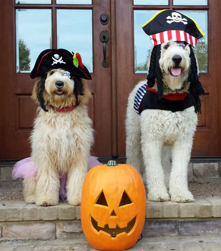 These two goldendoodles will be pirates this year :)