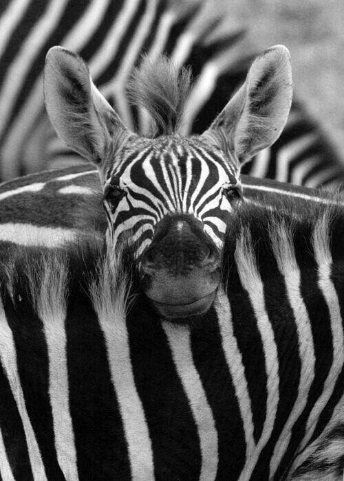 smiling baby zebra!!!!