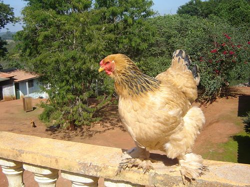 Chicken Pics: Photos of Popular Chicken Breeds (and all things Chicken!): Buff Brahma Chickens and Dark Brahma Chickens
