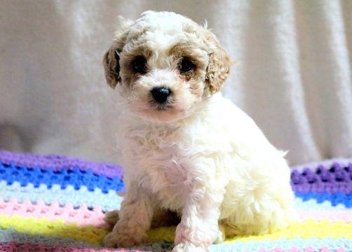 Cavapoo puppy for sale in MOUNT JOY, PA. ADN-59005 on PuppyFinder.com Gender: Male. Age: 7 Weeks Old
