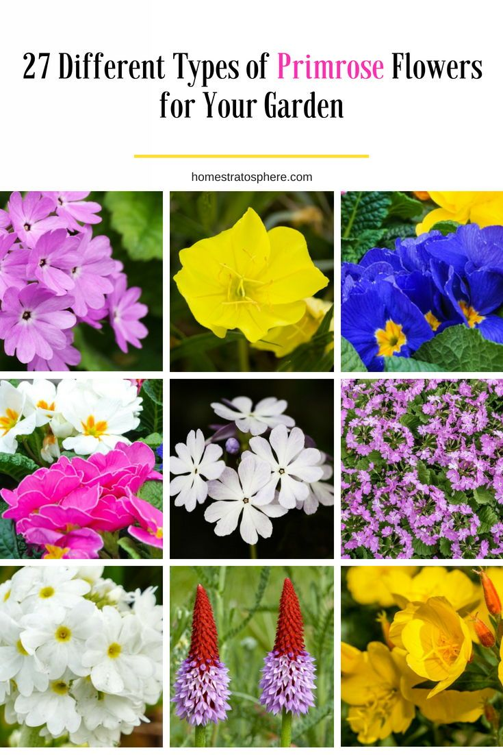 27 Different Types Of Primrose Flowers For Your Garden Flowers