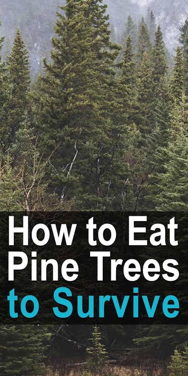 Eating Pine How To Eat A Pine Tree To Survive Pine Tree Survival Pine Needle Tea