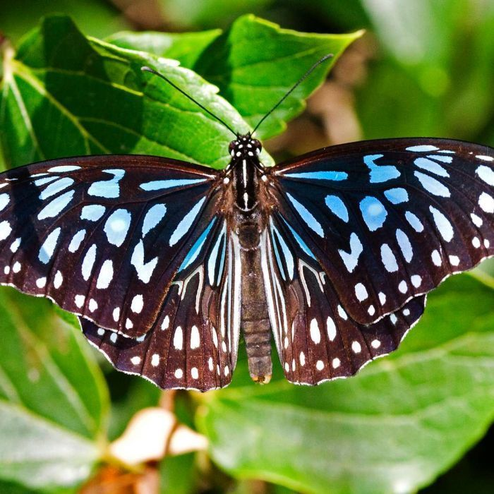 The skies are aflutter in south-east Queensland with unusually large numbers of butterflies, experts say.