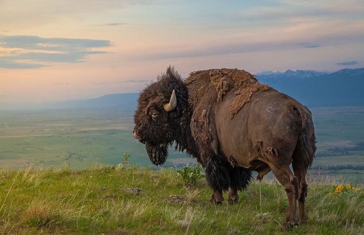 An American Bison on the National Bison Range, Moiese, Montana. (Credit: Mark Mesenko/National Geographic Traveler Photo Contest)