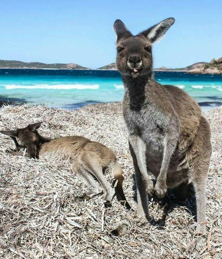 Kangaroo's Lucky Bay, WA