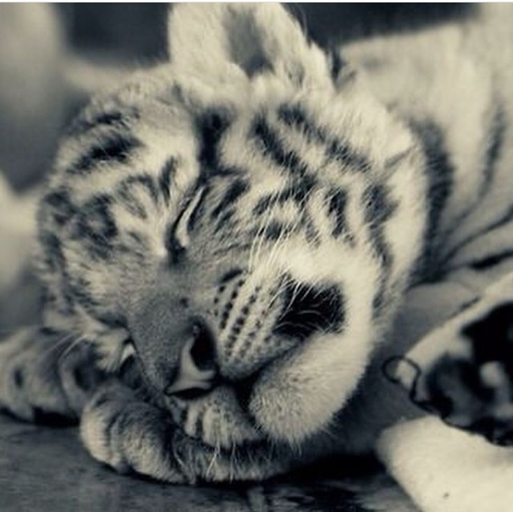 Sleeping White Tiger Cub With a Sweet Smile on its Face.