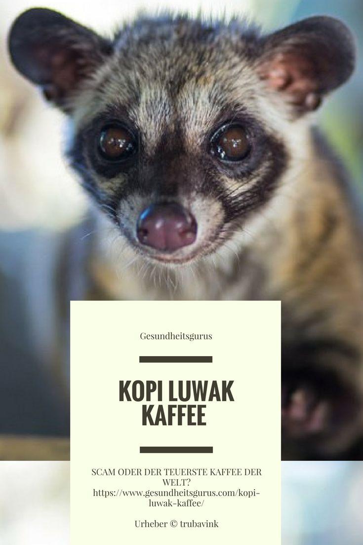 Kopi Luwak Kaffee – Scam oder der teuerste Kaffee der Welt? https://www.gesundheitsgurus.com/kopi-luwak-kaffee/ #kopiluwak