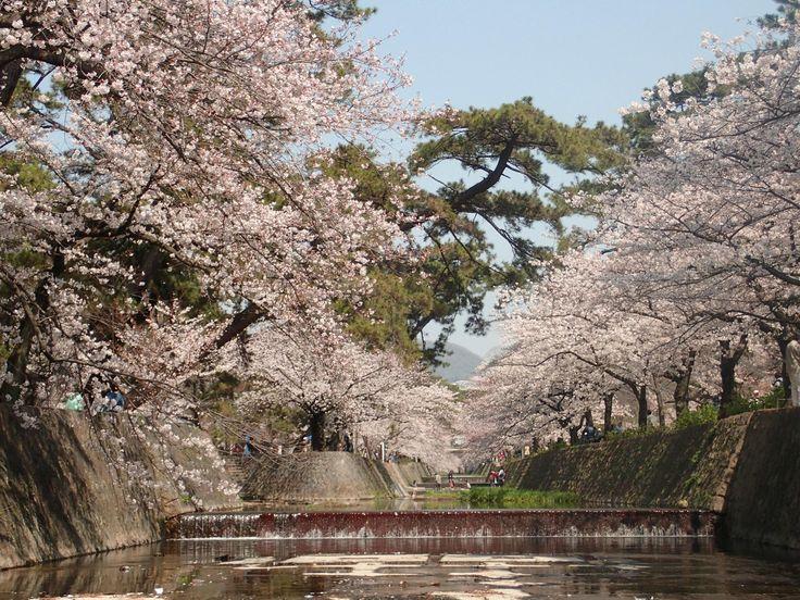 春風がそよぎ木々が芽吹く今日この頃、待ちに待った桜の季節が到来。全国の緑豊かな観光スポットが花見客で賑わいます。ここでは、トリップアドバイザーの口コミをもとに、関西で人気の桜の名所をランキングしました。年に一度の観桜を堪能しましょう!  仁和寺(京都府京都市)[caption id=