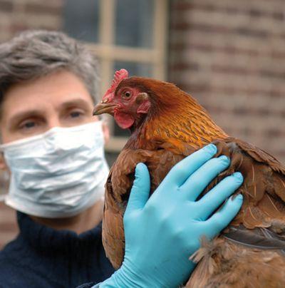 Au printemps 1999 en Belgique, de la dioxine, une substance cancérigène, est découverte dans de la farine destinée à l'alimentation de la volaille. Les ventes de poulet et d'œufs s'effondrent partout dans le monde. Une affaire qui aura coûté plus de 300 millions d'euros aux éleveurs belges.