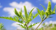 Ragweed Allergies, 75% of all allergies, most common.  No ragweed west of Rockies, or British columbia