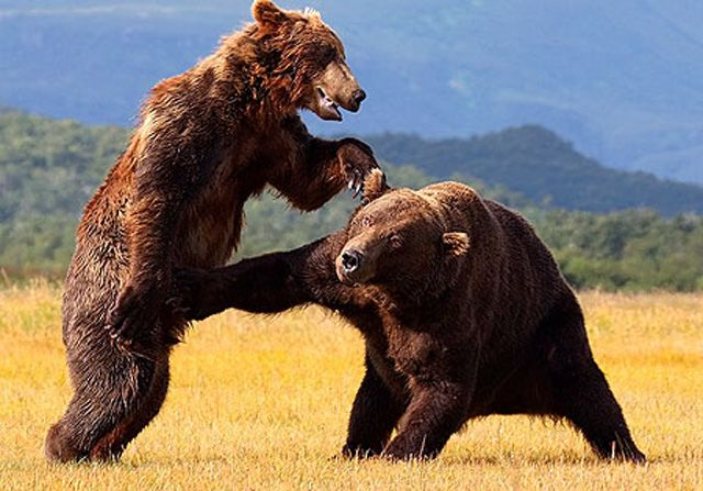 Even the noble grizzly bear can't resist a nut shot when it's offered to him.