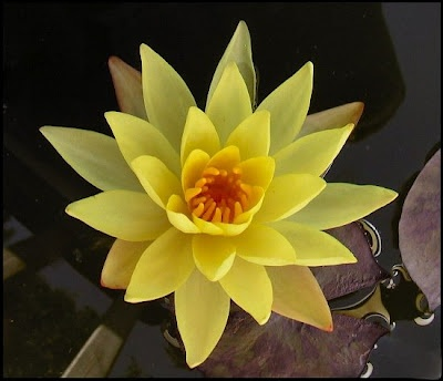 yellow water lily flower - photo #22