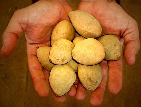 Baru - fruta do cerrado brasileiro