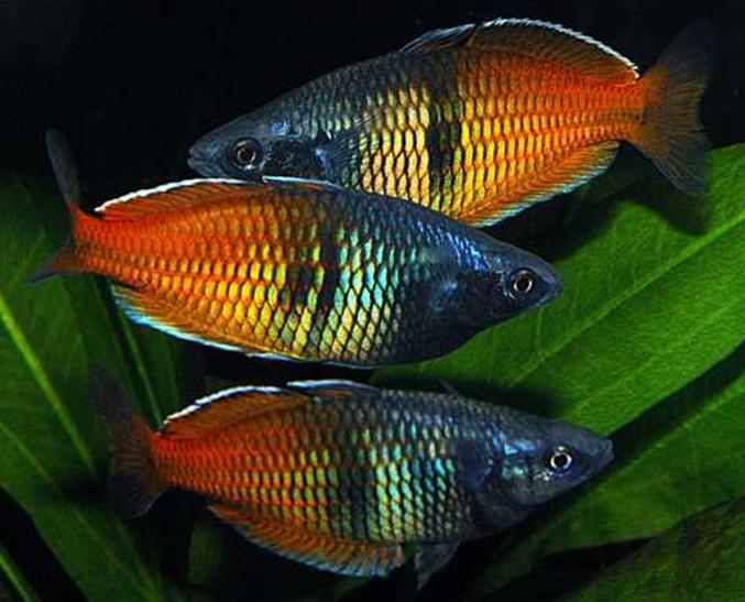 Bosemani rainbows freshwater tropical fish pinterest for Rainbow fish pictures