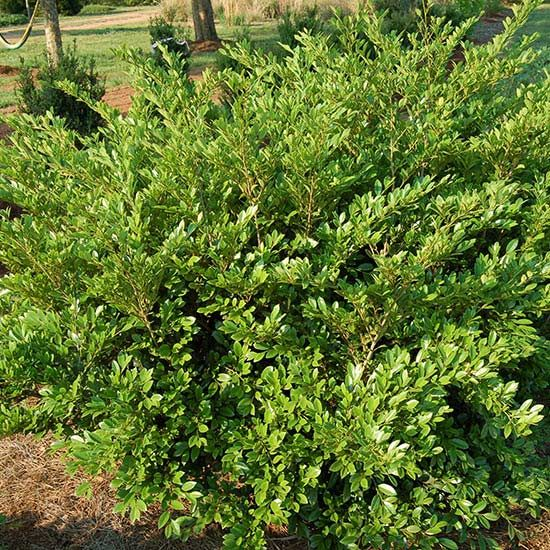 1000 ideas about low maintenance shrubs on pinterest for Shrubs for low maintenance garden