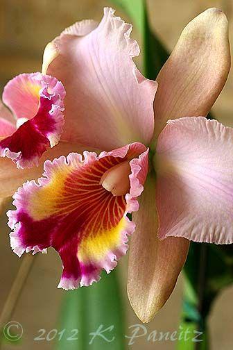 Orchid Cattleya 'Carolina Sunrise'