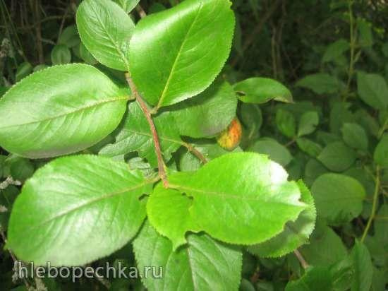 Ферментированный чай из листьев садовых и дикорастущих растений (мастер-класс. Обсуждение на LiveInternet - Российский Сервис Онлайн-Дневников
