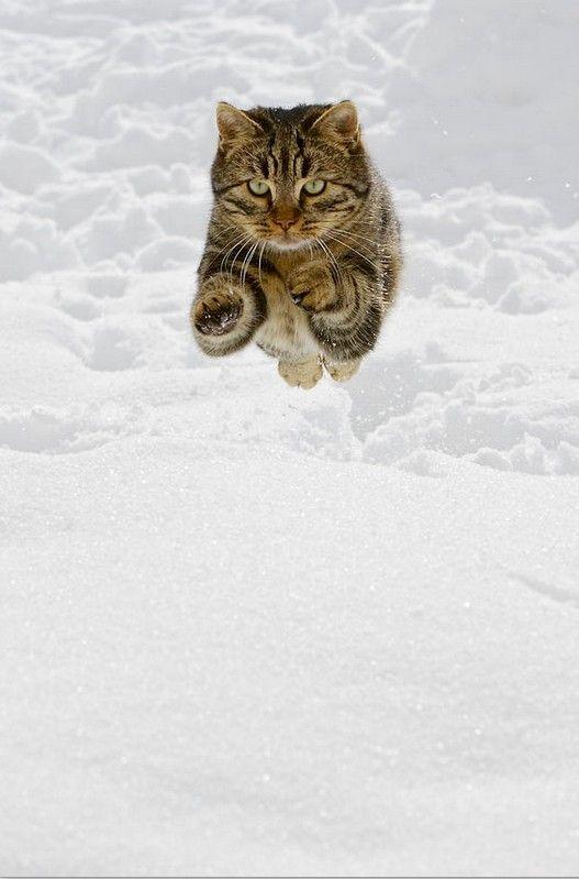 Edgar Allan Poe S Polydactyl Cat