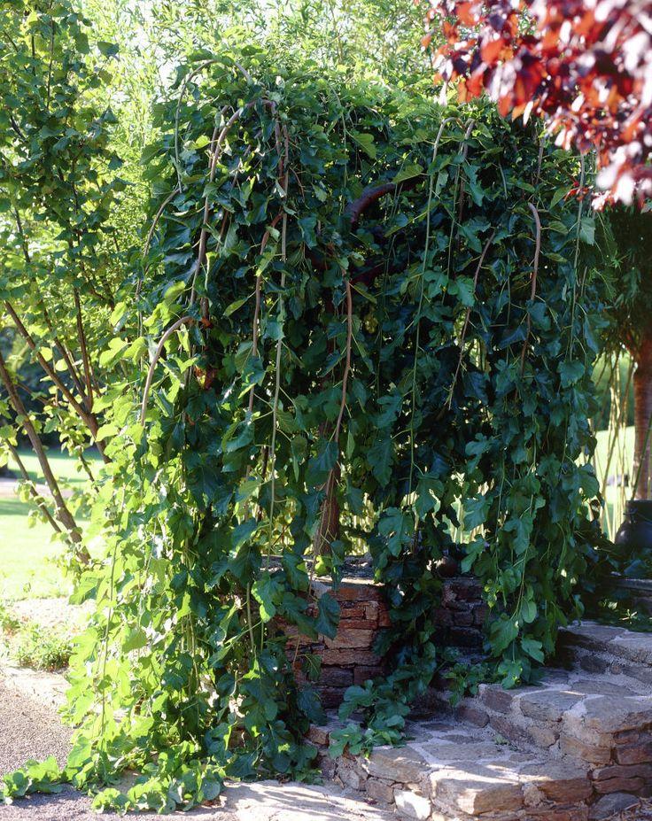 Weiße Maulbeere 'Pendula' • Morus alba 'Pendula' • Weißer Maulbeerbaum 'Pendula' • Pflanzen & Blumen • 99Roots.com