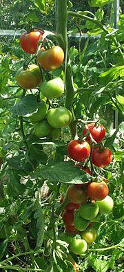 Tomatdyrkning   Camilla Plum (for Havenyt.dk)